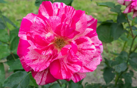 depicts: In the picture depicts a beautiful pink peony