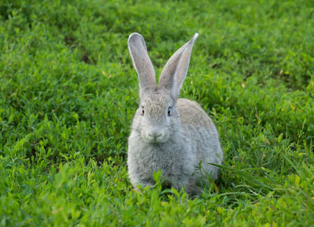 depicts: The photo depicts a rabbit sitting on the grass