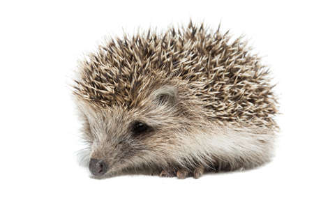 depicted: the photograph depicted a hedgehog on a white background Stock Photo