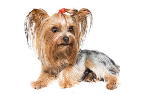 depicts: The photo depicts a Yorkshire Terrier on a white background