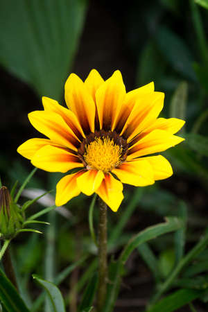 depicts: The photograph depicts an orange flower gazania