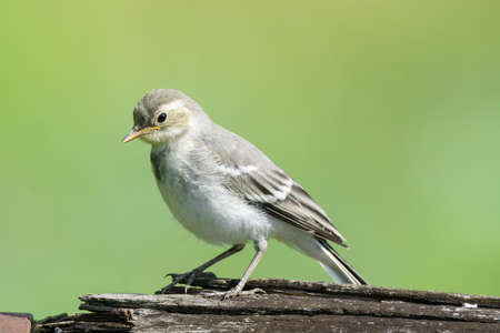 The photo depicts the wagtail on a log Stock Photo