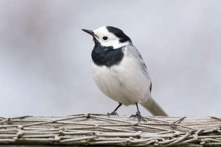 motacilla: The picture shows a wagtail on the grass Stock Photo
