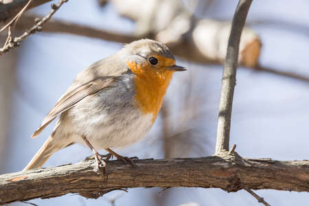 redbreast: The photo shows a robin on a branch Stock Photo
