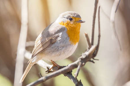 erithacus rubecula: The photo shows a robin on a branch Stock Photo