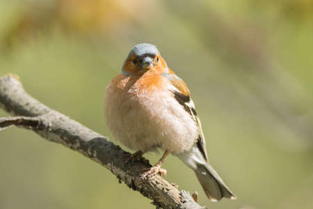 The picture shows a chaffinch on a branch Stock Photo