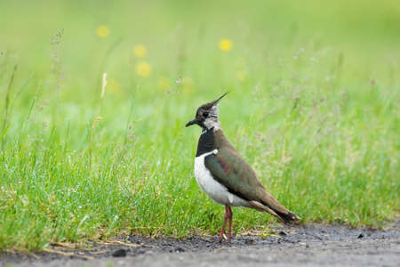 The picture shows a lapwing on the grass