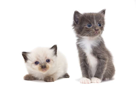 Kittens on a white background, Pet, Russia, Tambov, Summer (June)