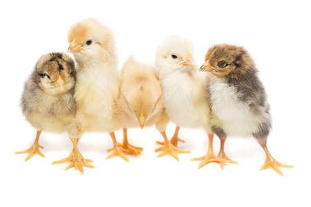 Cinq poulets sur fond blanc, isolement, village, été