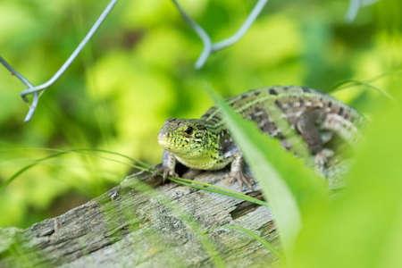 Green lizard on a log, Russia, a village, summer, 2017 Stock Photo