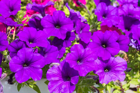 Beautiful purple petunia, flowers in the garden, summer