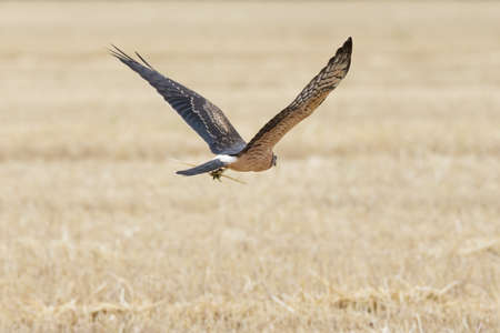 Circus pygargus on the wheat field, beautiful bird, photo-hunting