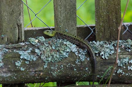 lacerta: Green lizard on a log, Russia, a village, summer, 2017 Stock Photo