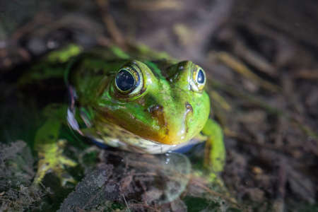 The green frog floats in the pond, macro photography Stock Photo