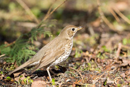 song thrush on the ground in the spring