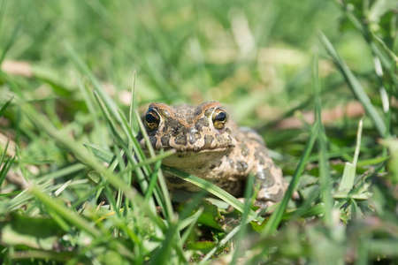 Toad sitting on the ground among green leaves on a sunny spring day