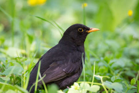 Turdus merula sits on the green grass