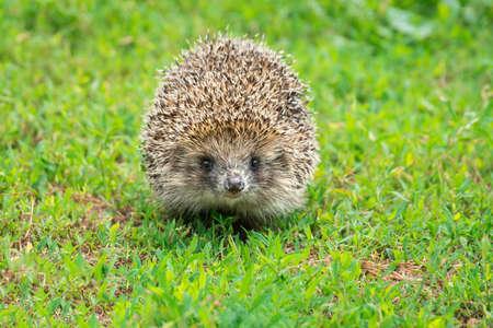 Hedgehog on green grass, hedgehog on nature