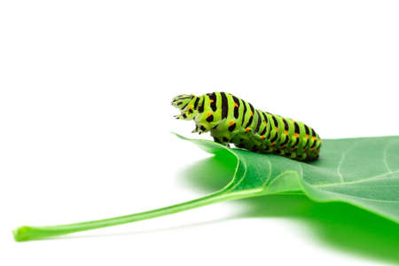 Swallowtail caterpillar or Papilio Machaon on a white background Stock Photo