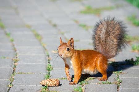 Red squirrel hides nut in green grass
