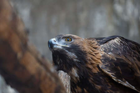 Golden eagle caught a mouse and eats it on a branch Stock Photo