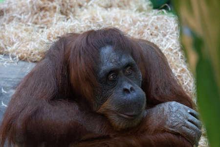 portrait of orang utan sitting and sad at the zoo