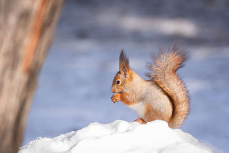 red squirrel sitting on the snow in the Park in winter 版權商用圖片