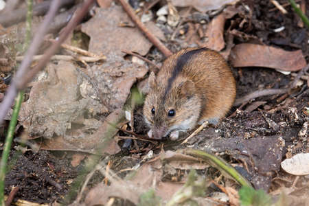 Striped field mouse sitting on fallen tree in park in autumn. Cute little common rodent animal in wildlife