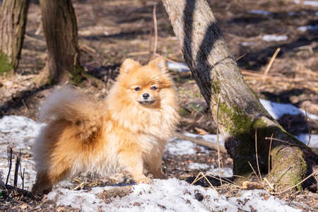 The dog breed pomeranian is walking in a spring Park