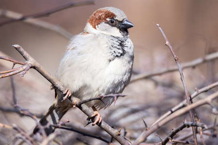 House Sparrow or Passer Domesticus. It is a bird of the family passeridae passeridae, a Sparrow can be found in most parts of the world Stock Photo