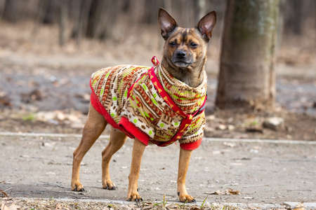 Russian Toy Terrier walk in spring park, toy Terrier breed Dog on a walk