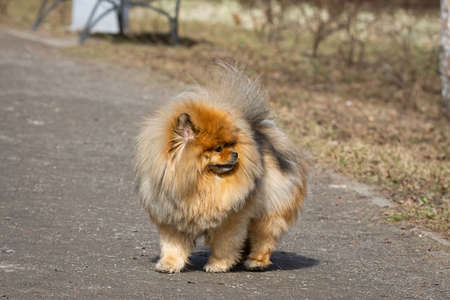 red chow chow dog outdoors in spring Stock Photo