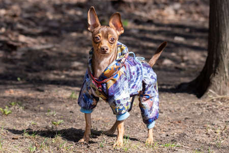 brown chihuahua dog walks in spring Park on the way
