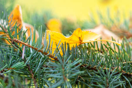 Yellow autumn leaves on Spruce twigs during fall season against sunny blue sky in city park Stock Photo