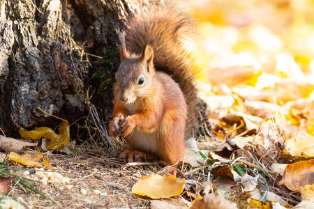 Squirrel sits on the asphalt in an autumn park and waits for a nut Stock Photo