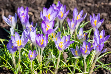 Beautiful spring background with close-up of a group of blooming purple crocus flowers on a meadow: Pretty group of purple and white crocus under the bright sun in spring time, Europe