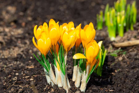 Yellow crocus flowers, Yellow Mammoth flowers in blossom in early spring.
