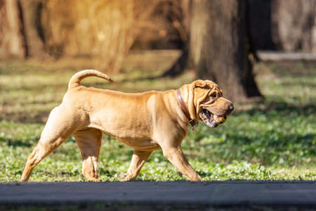 A beautiful, young red fawn Chinese Shar Pei dog standing on the road, distinctive for its deep wrinkles and considerd to be a very rare breed