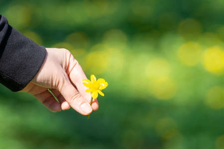 Closeup Buttercup Tree - Cochlospermum religiosum flowers and hand with blurred background