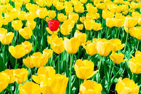 Flor de tulipán amarillo de cerca, textura macro de tulipán amarillo, fondo de flores