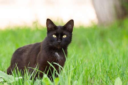 Retrato de un hermoso gato negro en un jardín sobre la hierba verde en la primavera Foto de archivo