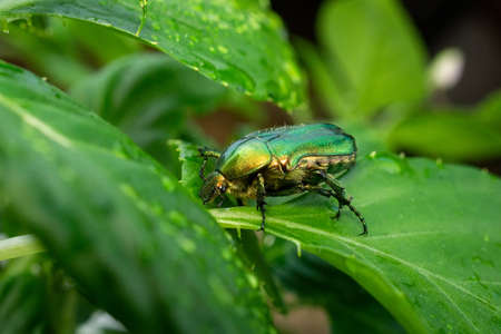 Scarabeo Cetonia Aurata, Golden cetonia is a beetle belonging to the Scarabeidae family, subfamily Cetoniinae. Often it is improperly called