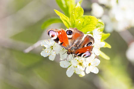 The peacock butterfly in the blossoming apple tree. Фото со стока