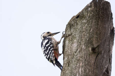 Great spotted Woodpecker sitting on a branch photographed horizontally Reklamní fotografie