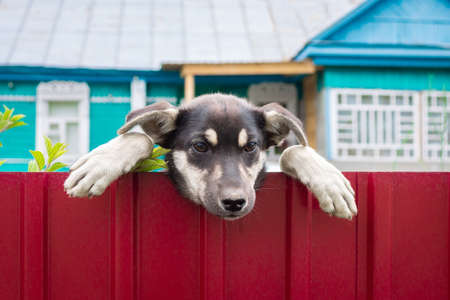 humorous picture with beautiful mongrel puppy a Beautiful puppy climbs over the fence