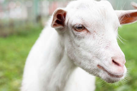 White baby goat on green grass in sunny day Фото со стока