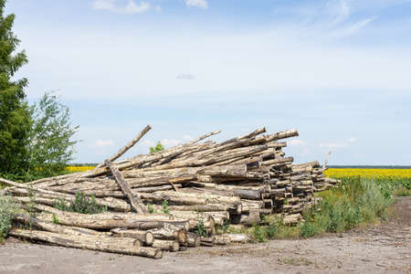 Timber industry. Cut tree trunks in the forest belt, logs at the field of sunflowers Фото со стока