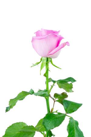 Beautiful single pink rose isolated on white background Фото со стока