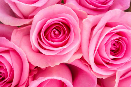 Background image of roses. Colored fresh pastel color roses.