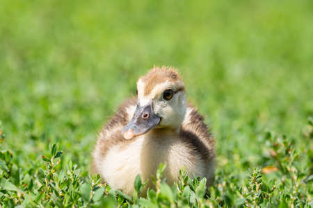 Head cute little yellow newborn duckling in green grass. Newly hatched duckling on a chicken farm - close-up portrait. Stok Fotoğraf - 129304697